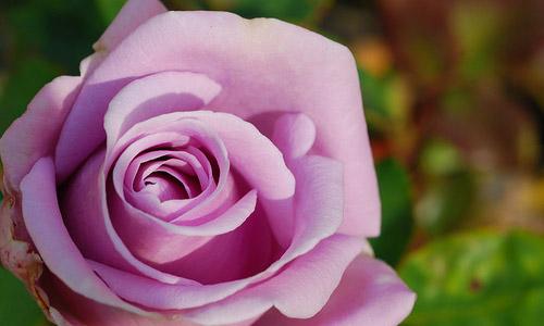Lavender:Love & Luxury