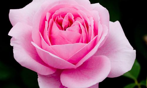 Pink: Appreciation