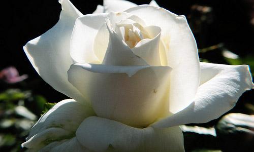 White: Peace & Innocence