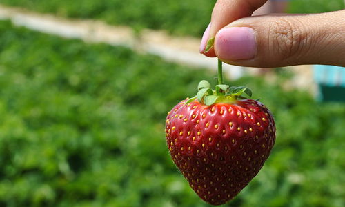 Go strawberry picking in an orchard