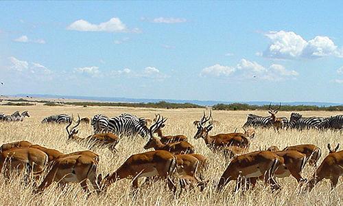 Wildebeest migration in the Masai Mara and Serengeti