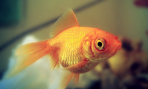 4. Golden fish