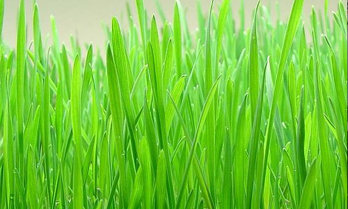 How Does Wheatgrass Juice Keeps You Healthy?