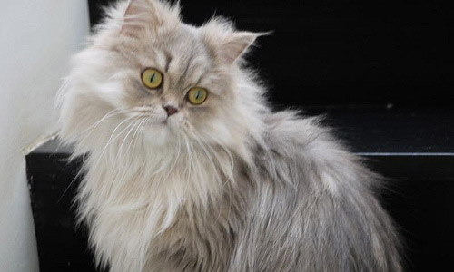 8 Best Cat Breeds To Keep As Pets