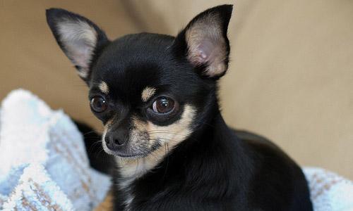 9. The Chihuahua