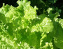 5 Health Benefits of Lettuce