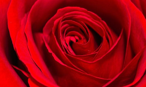 6 Most Popular Flowers to Give on Valentine's Day