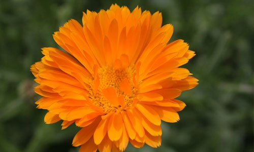 Fun Facts About the October Birth Flower