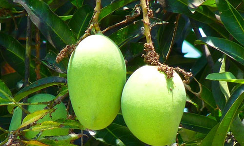 5 Health Benefits of Green Mango