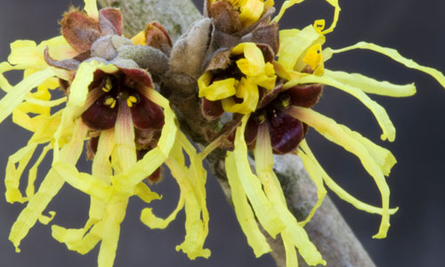 7 Uses for Witch Hazel
