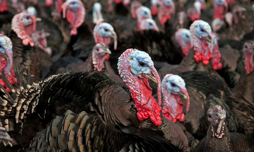 5 Interesting Facts about the Thanksgiving Turkey