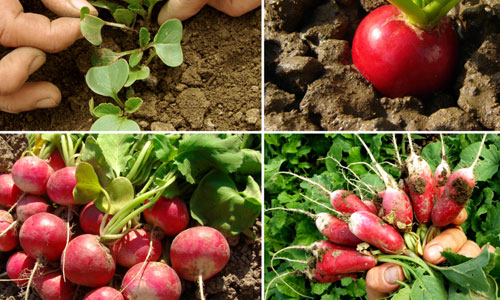Tips to Grow Organic Vegetables in Your Garden