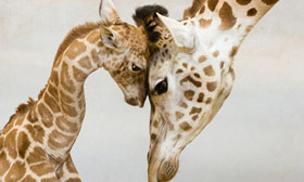 25 Most Adorable Pictures Of Parental Love From The Animal World