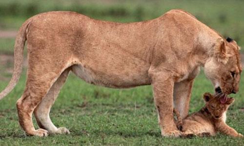 Lioness-5