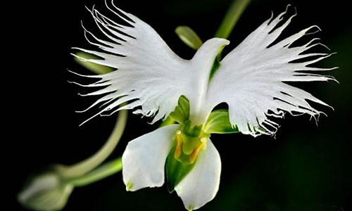 White-Egret-Orchid