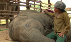 Unbelievably Cute! She Sings an Elephant to Sleep With a Lullaby