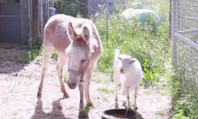 This Is The Unbelievable Story Of Two Best Friends, a Goat And a Burro