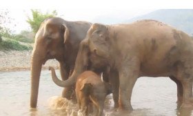 This Cute Baby Elephant Takes A Mud Bath And You Will Feel Real Happiness Watching It.