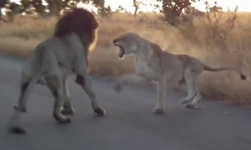 Do Not Mess With Your Girl. This Lion Learns It The Hard Way