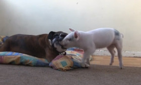 The Friendship Story Of A Rescue Dog And An Abandoned Pig Will Make You Smile Today
