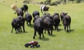 A Herd Of Cows Chase A RC Car Around A Field. This Is The Funniest Thing You Will See Today.