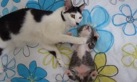 Cat Pats Her Little One To Sleep. Cute!