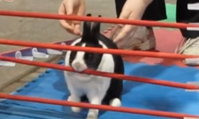 Amazing Video of Rabbits Hopping Over Obstacles. A Non Stop Performance Video. Must Watch.
